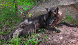 Black Wolf (Canis lupus) Feeds Her Pups Stock Photography