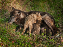 Black Wolf (Canis lupus) Feeds Her Pups Royalty Free Stock Images