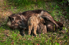 Black Wolf (Canis lupus) Feeds Her Pups Royalty Free Stock Photos