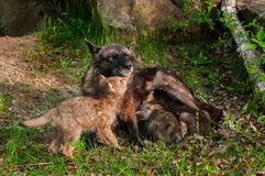 Black Wolf (Canis lupus) Feeds Her Pups - One Under Chin Royalty Free Stock Image