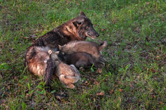 Black Wolf (Canis lupus) Feeds Pups Stock Photography
