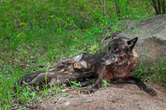 Black Wolf (Canis lupus) Feeds Pups Next to Den Royalty Free Stock Image