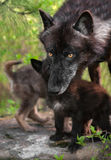 Black Wolf (Canis lupus) In Front of Pups Stock Image