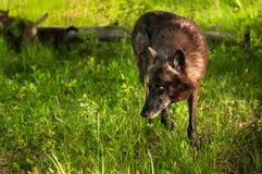 Black Wolf (Canis lupus) Looks Left Stock Image