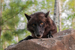 Black Wolf (Canis lupus) Looks Over Rock Royalty Free Stock Photos
