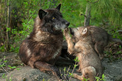 Black Wolf (Canis lupus) Pawed in Mouth by Pup Royalty Free Stock Images