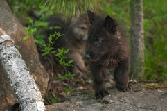 Black Wolf (Canis lupus) Pup Looks Left Stock Images