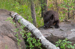 Black Wolf (Canis lupus) Pup Stalks Left over Branch Stock Photography