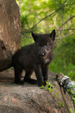 Black Wolf (Canis lupus) Pup Stands Atop Rock. Captive animals Stock Photo