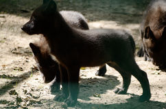Black Wolf. Canis lupus. Puppy. Wild animal in the zoo Stock Photos
