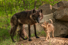Black Wolf (Canis lupus) and Pups Stand at Den Entrance Royalty Free Stock Photo