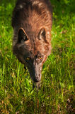Black Wolf (Canis lupus) Stalks Forward Royalty Free Stock Photos