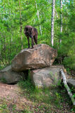 Black Wolf (Canis lupus) Stands on Den Rocks Royalty Free Stock Image