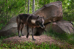 Black Wolf (Canis lupus) Stands in Front of Den Paw Raised Stock Photos