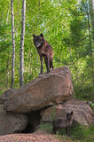 Black Wolf (Canis lupus) Stands on Top of Den - Pup Below Stock Photos