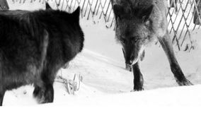 Black wolf Canis lupus walking in the winter snow. Animal Stock Image