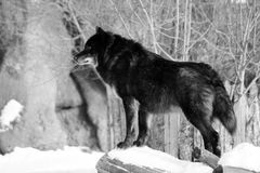 Black wolf Canis lupus walking in the winter snow. Animal Stock Photos