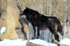 Black wolf Canis lupus walking in the winter snow. Animal Royalty Free Stock Photography