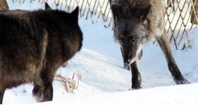 Black wolf Canis lupus walking in the winter snow. Animal Royalty Free Stock Photos