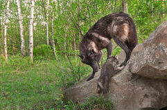 Black Wolf (Canis lupus) Watches Pup Climb up Rock Stock Photography