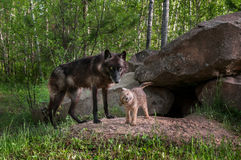 Black Wolf (Canis lupus) Watches While Pup Shakes Off Stock Photo