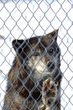 Black Wolf in Captivity. A black wolf standing behind a fence staring out stock image