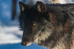 A Black Wolf Close Up Photo royalty free stock image