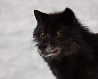 Black Wolf Royalty Free Stock Photos