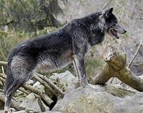 Black wolf 2 Royalty Free Stock Image
