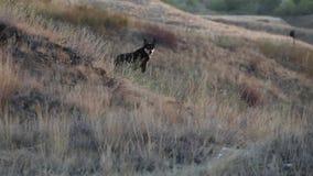 Black Wolf stock footage