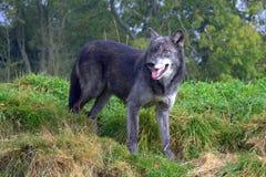Black wolf Stock Image