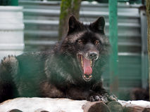Black wolf with opened mouth full of teeth and big red tongue Royalty Free Stock Photos