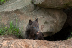 Black Wolf Pup (Canis lupus) Climbs out of Den Royalty Free Stock Photo