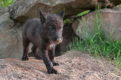 Black Wolf Pup (Canis lupus) Stands outside Den Entrance Royalty Free Stock Photography