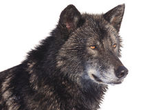 Black wolf side portrait. With bright eyes Royalty Free Stock Images