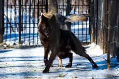 Black wolf in the snow. In a cage stock image