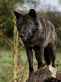 Black wolf staring down off a log Stock Images