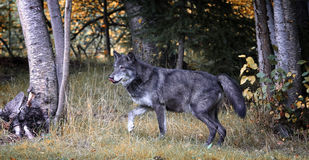 Black wolf Stock Photo