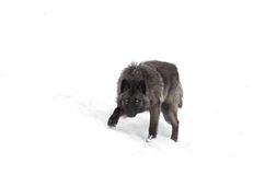 Black wolf in snow. Black wolf walking in the winter snow Royalty Free Stock Photography