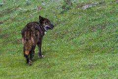 Black wolf of Yellowstone Royalty Free Stock Photo