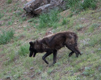 Black Wolf in Yellowstone National Park. A black wolf in Yellowstone National Park stock photo