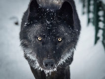 Black wolfe on the snow. Black and white wolfe on the snow stock image