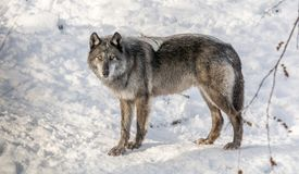 Black Wolve Enjoying Snow in Canada Royalty Free Stock Photography