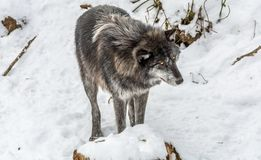 Black Wolves with Fantastc Yellow Eyes Looking on the Side royalty free stock photo