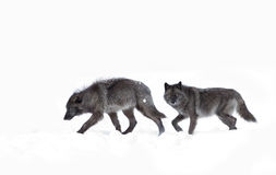 Black wolves isolated against a white background walking in the winter snow in Canada Stock Images