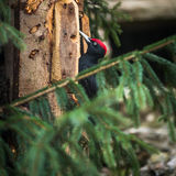 Black Woodpecker Stock Images
