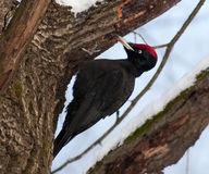Black woodpecker (Dryocopus martius) Royalty Free Stock Photos