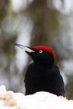 The black woodpecker & x28;Dryocopus martius& x29; portrait on the snow wi. The black woodpecker & x28;Dryocopus martius& x29; portrait on the snow in the taiga Stock Image