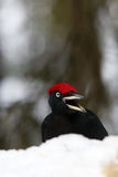 The black woodpecker Dryocopus martius portrait on the snow. In the winter taiga royalty free stock images