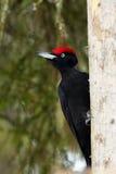 The black woodpecker,Dryocopus martius,sitting on the dry trun. The black woodpecker (Dryocopus martius) sitting on the dry trunk Royalty Free Stock Image